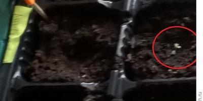 Петуния Марко Поло F1 лиловая. IV этап. Развитие растений и уход за ними