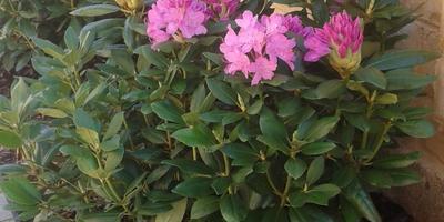Обрывать ли у рододендрона семенные шишки на верхних ветках, чтобы на следующий год было обильное цветение?