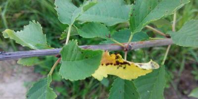 Что за болезнь поразила все растения?