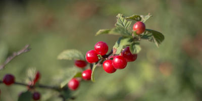 Вишня – одно из самых полезных растений