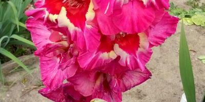 Астры, георгины, гладиолусы - цветы моего детства