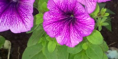 Петуния Варвара краса F1. Этап IV. Развитие растения и уход за ним