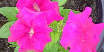 Комплиментуния розовая F1. IV этап. Развитие растения и уход за ним