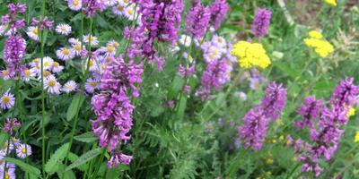 Луговые цветы в саду