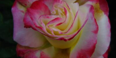 """Роза """"Двойное удовольствие-Дабл Делайт"""""""