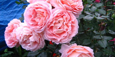 "Прима среди роз: роза Дэвида Остина ""Абрахам Дерби"" (Abraham Darby)"