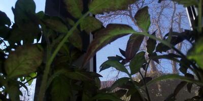 Розовые пятна на рассаде томатов. Что это может быть?