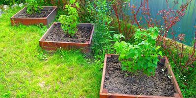 Можно ли размножать чёрную смородину черенками?