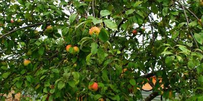 Яблонька Грушовка в моём саду
