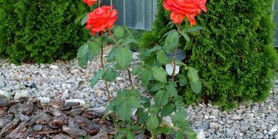 Моя пока единственная, но очень любимая роза Голд Перл Штейн