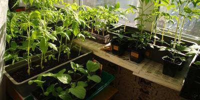 Рассада - радость садовода!