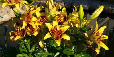 Как же быстро пролетело это лето.... Но лилии в моём саду меня порадовали!!!