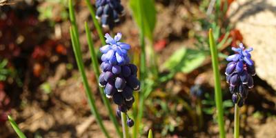 Мускари 'Неглектум', или Сине-голубая краска весны...