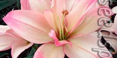 Азиатские лилии необыкновенной красоты!