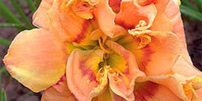 Приобретите лилейники - и у вас будет многолетняя красота в саду без хлопот....