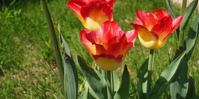 Что за сорт тюльпанов?