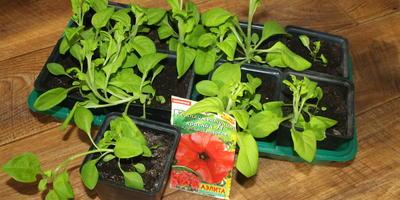 Комплиментуния  красная F1. Этап IV. Развитие растений и уход за ними