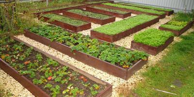 Горчица для улучшения почвы - секрет отличного урожая