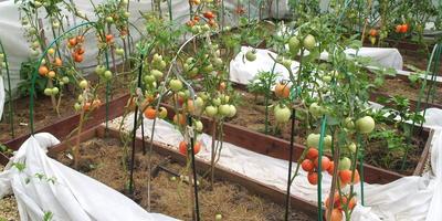 Мульчирование грядок скошенной травой - ещё один рецепт отличного урожая