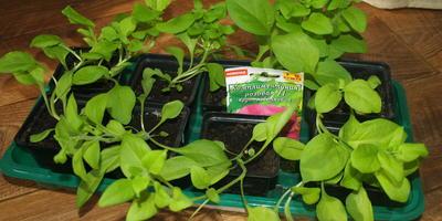Комплиментуния розовая F1. IV этап. Развитие растений и уход за ними. Первое цветение