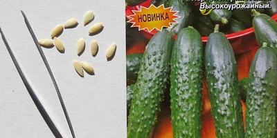 Огурец сорта «Король рынка». Тест на всхожесть. Посев