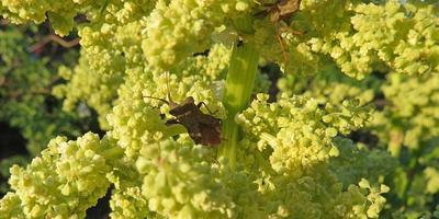 Что за насекомые атаковали ревень и как от них избавиться?