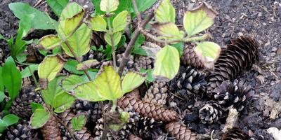 Почему листья гортензии стали подсыхать, прекратился рост растения?