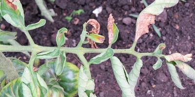 Чем повреждены листья томата?