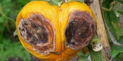Что за гниль на помидорах? Как избежать распространения этой болезни?