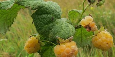 Какая болезнь поразила жёлтую малину?