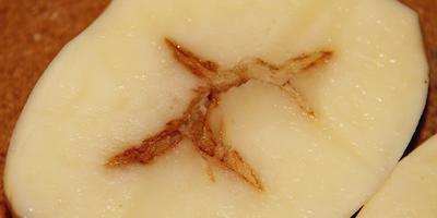 Чем болен клубень картофеля?
