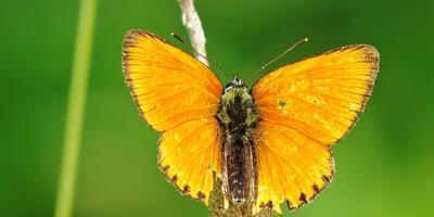 Определите, пожалуйста, бабочку