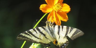 Кто знает эту прелестную бабочку?