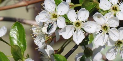 Что за вредитель на цветах вишни?