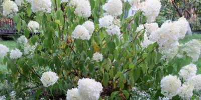 У гортензии вялые листья. Это истощение почвы или заболевание?