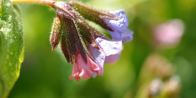 Неприхотливый почвопокровник - медуница сахарная