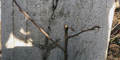 Как сформировать проводник у груши?