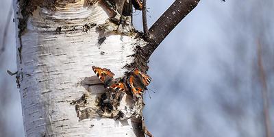 Бабочки и берёзовый сок