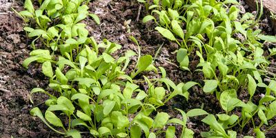 Кресс-салат Витаминчик. Рост и развитие растений
