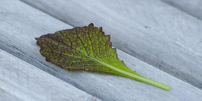 Горчица салатная Красная горка. Характеристика урожая, зелени