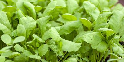 Кресс-салат Витаминчик. Характеристика урожая, зелени
