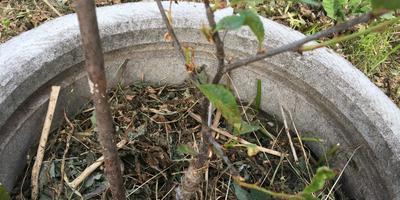 Листья саженца вишни вянут, сохнут, покрываются пятнами. Можно ли его спасти?