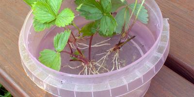 Обработка розеток земляники садовой препаратом Корнерост (тест)