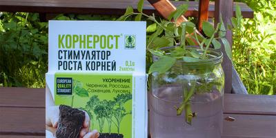 Обработка черенков плетистой розы препаратом Корнерост (повторный тест)