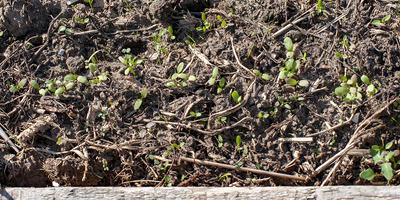 Щавель Изумрудный снег. Рост и развитие растений