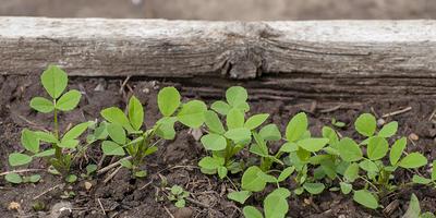 Пажитник голубой Изумительный аромат. Рост и развитие растений