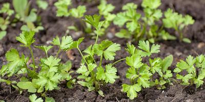 Петрушка листовая Зелёный хрусталь. Рост и развитие растений
