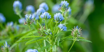 Пажитник голубой Изумительный аромат. Биологические особенности