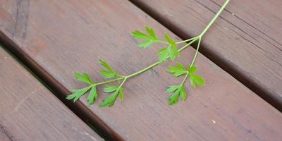 Петрушка листовая Зелёный хрусталь. Характеристика урожая, зелени