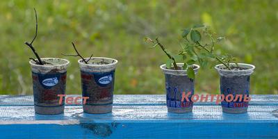 Результат обработки черенков плетистой розы препаратом Корнерост (повторный тест)